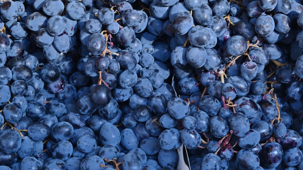 Les bienfaits du marc de raisin pour lutter contre la peau d'orange.