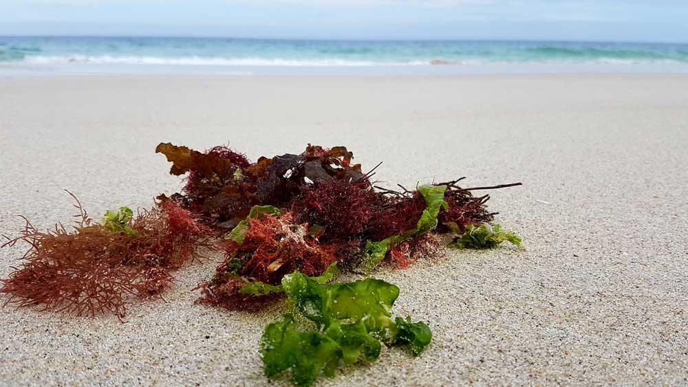 bienfaits algues de mer 1000